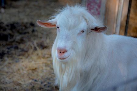 Sweet Pea Goats